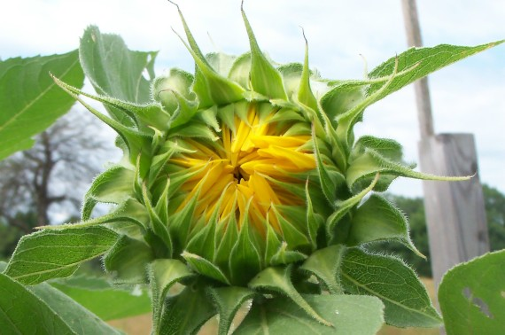 Wagon Hill Farm Sunflower Bud