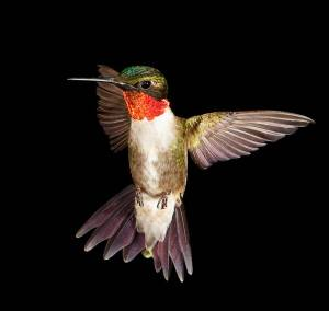 2297-ruby-throated-hummingbird