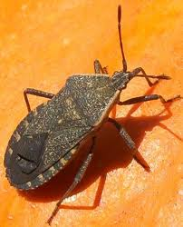 Adult Squash Beetle