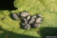 Squash Beetle Larvae