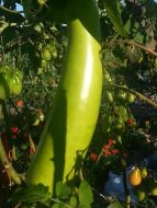 Asian Bottle Gourd among Roma Tomatoes