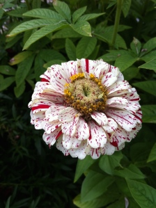 Red and White Zinnia