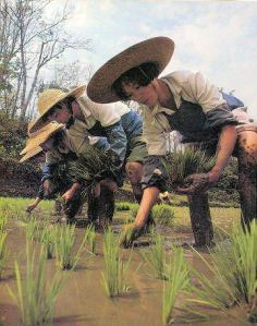 agri-rice-planting
