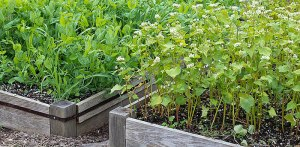 Cover crops in Raised Beds